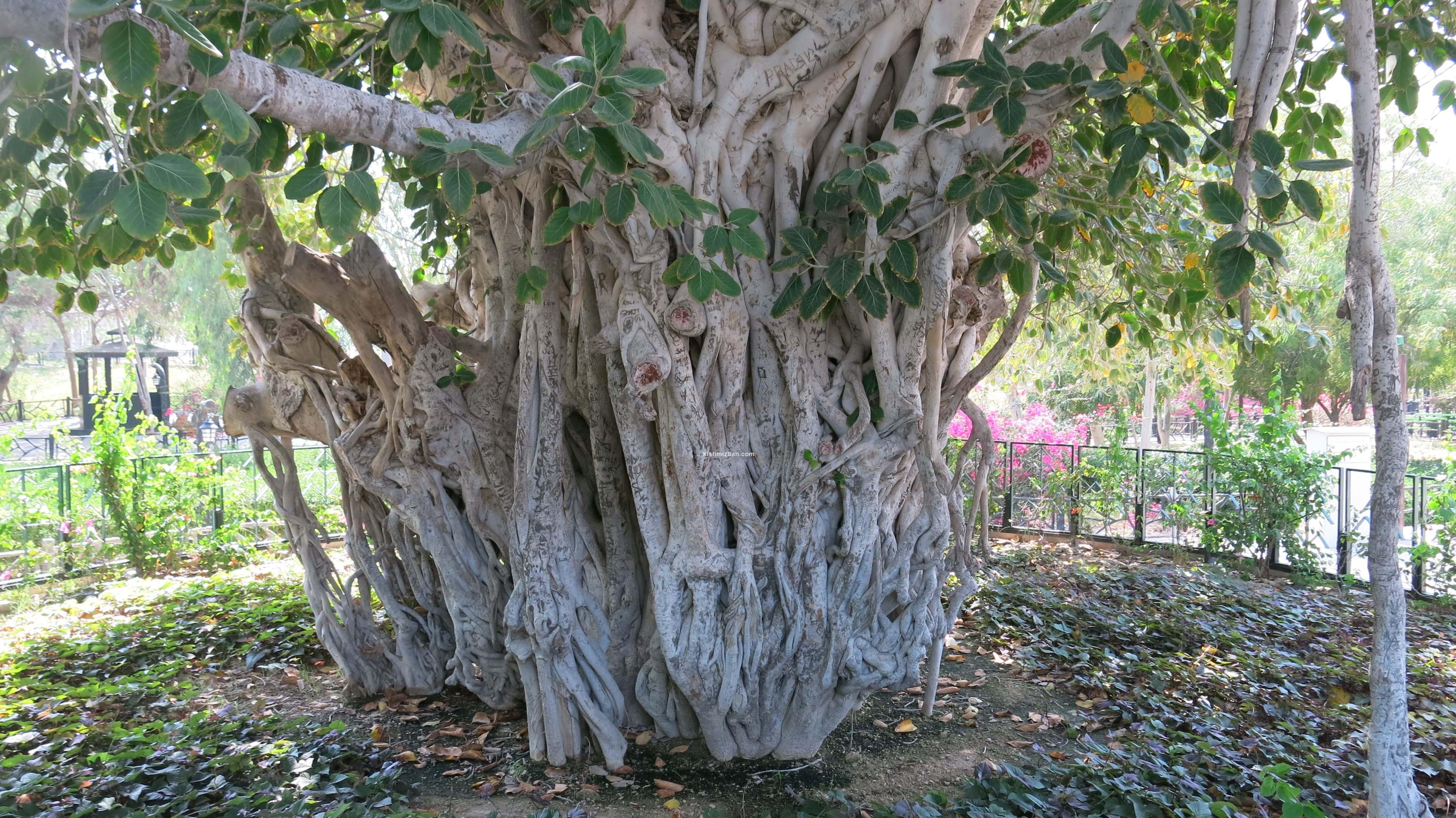درخت های لور جزیره کیش